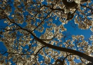 Magnolia blossoms against a blue sky