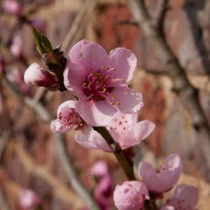 Blossom at Ham House