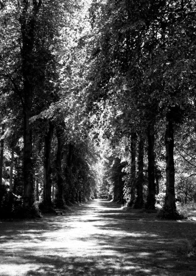 Avenue of trees with light through leaves, in black and white