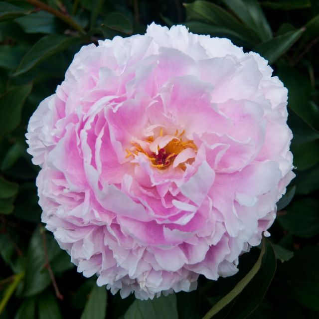 Flower head in pink